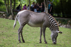 zebra eating grass in its enclosure